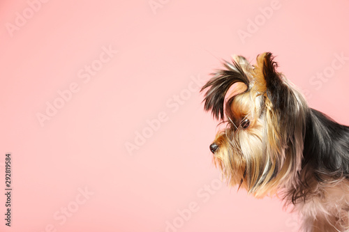 obraz PCV Adorable Yorkshire terrier on pink background, space for text. Cute dog