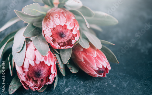 Tuinposter Macrofotografie Protea flowers bunch. Blooming Pink King Protea Plant over dark background. Extreme closeup. Holiday gift, bouquet, buds. One Beautiful fashion flower macro shot. Valentine's Day gift