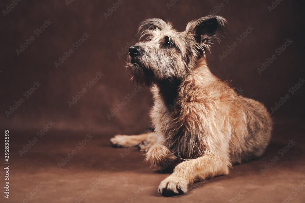 Fototapeta Portrait of a beautiful fluffy funny dog in the studio