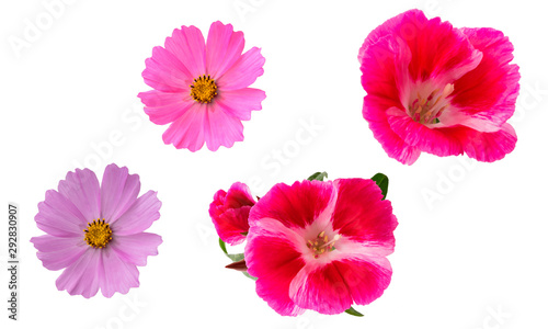 Isolated flowers on a white background. Pink Azalea and Cosmea