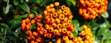 Autumn Bunch Of Berries.