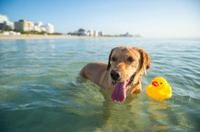Happy Yellow Labrador Dog Wading With A Rubber Ducky In Calm Shallow Waters At The Beach