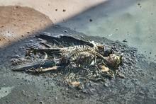 Dead Bird Remains Decomposing ...