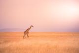 Fototapeta Sawanna - Lonely giraffe in the savannah Serengeti National Park at sunset.  Wild nature of Tanzania - Africa. Safari Travel Destination.