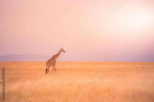 Photo  Lonely giraffe in the savannah Serengeti National Park at sunset