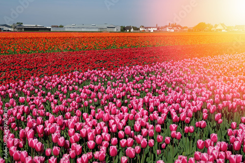 Foto op Canvas Zwavel geel Tulip field with red and purple flowers