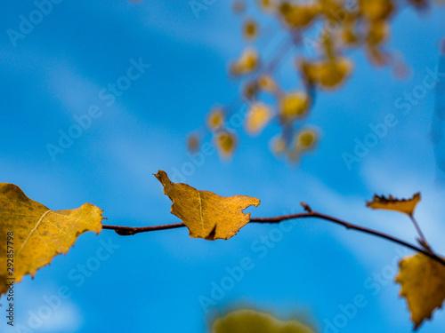 Liście brzozy jesienią - 292857798