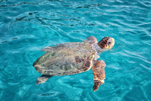Caretta Caretta Turtle From Za...