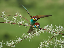 Colorful European Bee-eater (M...