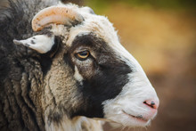 The Muzzle Of A Fluffy Sheep With Bright Yellow Eyes And Short Horns