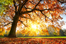 Majestic Oak Tree At Autumn Sunset