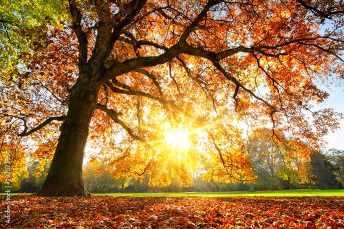 Fototapeta jesień   majestic-oak-tree-at-autumn-sunset