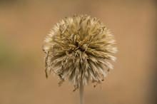 Lesser Burdock, Arctium Minus,...