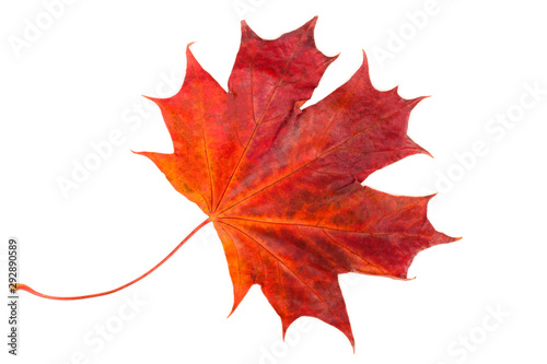 Cuadros en Lienzo red maple leaf isolated on white background