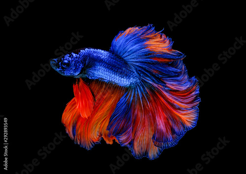 Colorful with main color of blue and red betta fish, Siamese fighting fish was isolated on black background Canvas Print