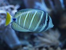 Pazifischer Segelflossendoktorfisch - Zebrasoma Velifer