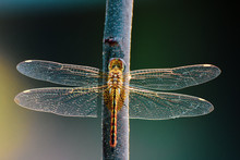 Beautiful Dragonfly In The Nat...