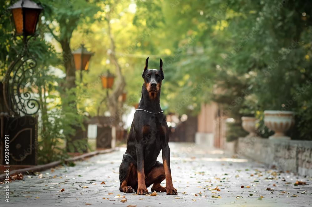 Fototapeta Doberman dog beautiful portrait autumn park