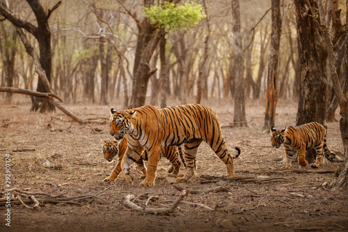 Amazing tiger in the nature habitat. Tigers pose during the golden light time. Wildlife scene with danger animal. Hot summer in India. Dry area with beautiful indian tiger. Panthera tigris.