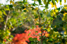 A Circular Form Spider's Web In The Bushes