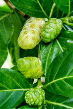 Great Morinda Fruit Or Tahitia...