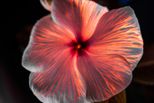 Ultraviolet Fluorescence Photography Of A Vinca Periwinkle Flower That Has Had Its Stem Steeped In A UV Reactive Fluid