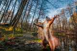 Fototapeta Las - Funny red squirrell standing in the forest like Master of the Universe.
