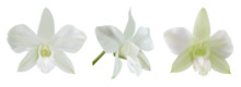 White Orchid Flowers Isolated ...