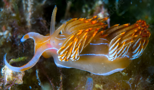 kolor, nudibranch, życie, morze, morski, podwodny, makro, zwierzę, nurkowanie, tropikalny, natura, tło, kolorowy, płetwonurek, biały, woda, ocean, azja, zwierzęta, rafa, żółty, piękny, czerwony, podróżować, pomarańczowy, Filipiny, widok, dziki, w