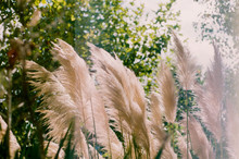 A Film Photo Of Wheat-colored Lush Reeds And Other Herbs Lit By Warm Sunlight. Dry Reeds Grass At Sunset. Landscape Of Reeds Grass Background Backlit Natural Sunlight. Mallorca, Spain