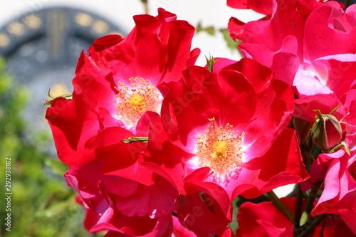Insektenfreundliche Rosensorte mit ungefüllten Blüten, rote Rosen, im leicht uns Wallpaper Mural