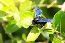 Xylocopa Latipes, Fly In The F...