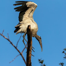 Wood Stork Landing On Branch