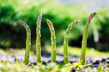 Young Green Asparagus Sprout I...