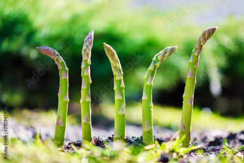 Young green asparagus sprout in garden growth closeup Wallpaper Mural
