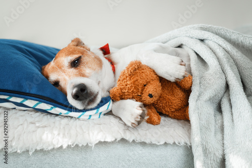 Fototapeta  Sleeping jack russel terrier puppy dog with teddy bear toy