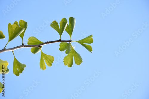 Fresh green leaves of Ginkgo - Maidenhair Tree. Wallpaper Mural