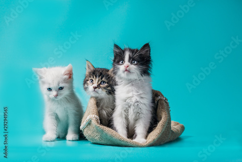 Fotomural  two kittens in a sack and one next to the bag on a turquoise background