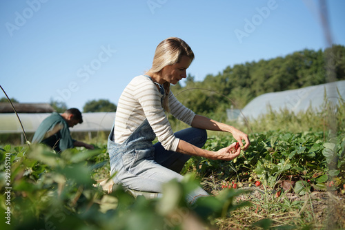 Foto Couple of farmers picking stawberries in organic field
