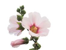 Pale Pink Hollyhocks Flowers, ...