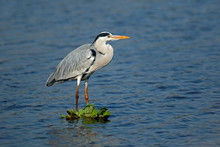 Grey Heron (Ardea Cinerea) Standing In Shallow Water, Kruger National Park, South Africa.