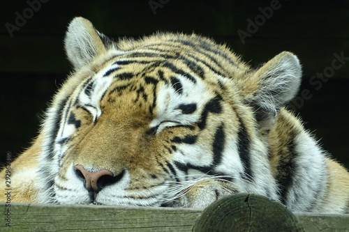 Photo Beautiful female tiger at the zoo