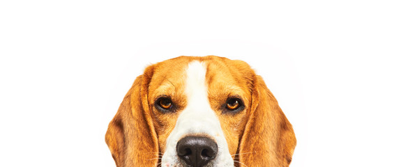 FototapetaClose-up of Beagle dog, portrait, in front of white background
