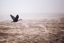 Cormorant Flying Over The Beach, Skeleton Coast, Namibia, Africa