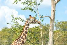 Giraffe Eating Leaves From Dry...