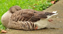 Sleeping Goose On The Edge Of The Road