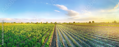Fototapeta Panoramic photo of a beautiful agricultural view with pepper and leek plantations. Agriculture and farming. Agribusiness. Agro industry. Growing Organic Vegetables obraz