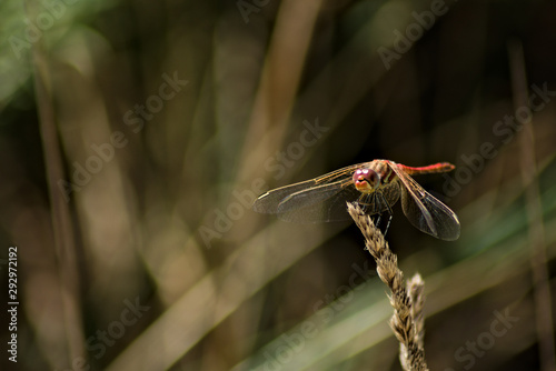 Fotografie, Tablou  Close up of a Common darter posed on a grass, front view