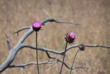 Musk Thistle Plants In Mesa Verde National Park