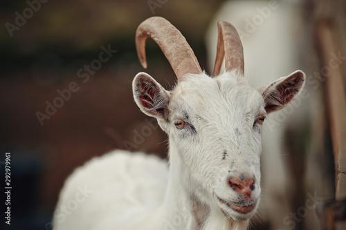 Portrait of a white goat Wallpaper Mural